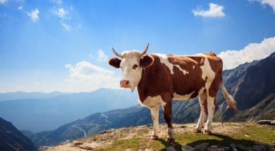 Krava