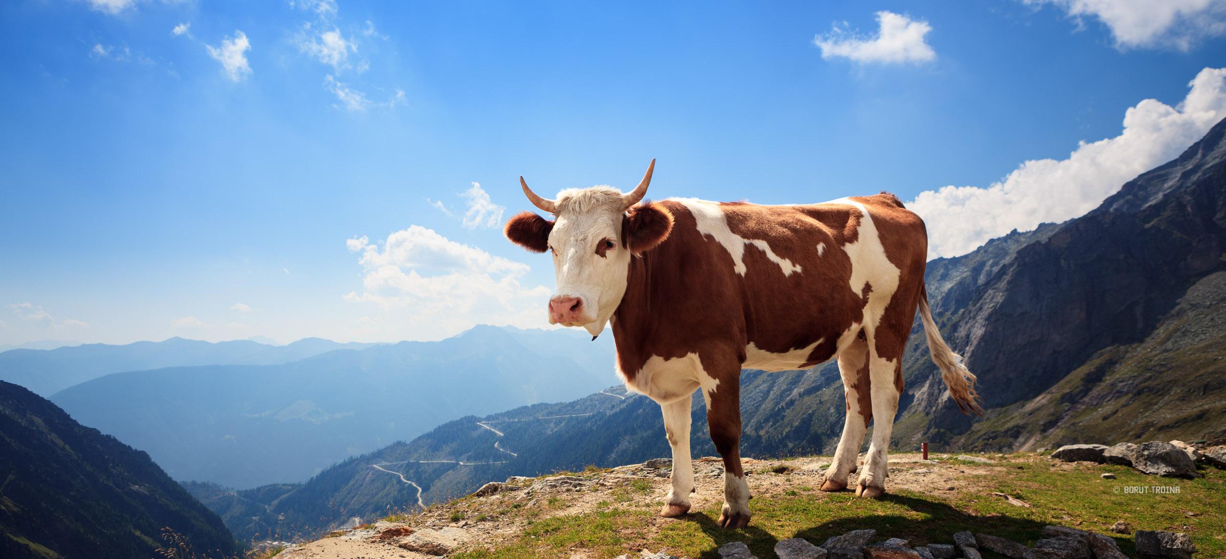 Krave će biti glavni saveznik u borbi protiv HIV-a: Sadrže antitijela koja uništavaju virus