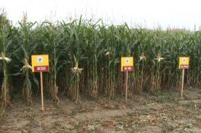 bugojno-polja_kukuruza