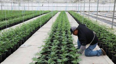 marihuana-polje-kalifornija4
