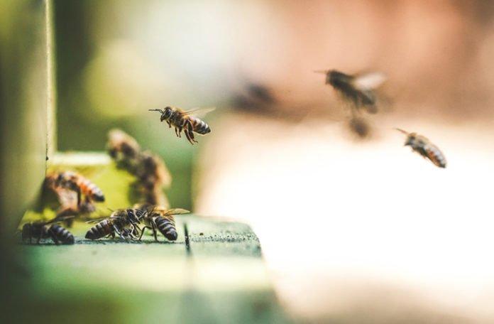 Danas je svjetski dan pčela: Njihovim nestankom polako bi nestao i čovjek