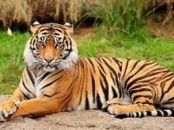 tigar1
