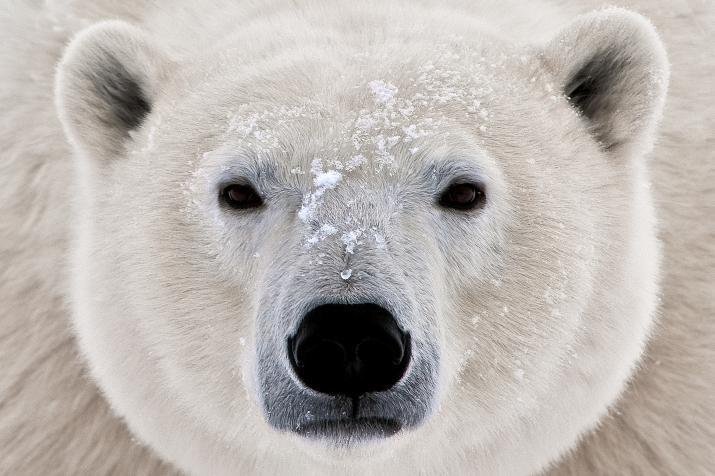 Vanredno stanje u dijelu Rusije, desetine polarnih medvjeda haraju po naseljima