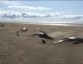 Screenshot_2019-07-22 Sve ugroženija vrsta Na Islandu se nasukalo više desetina kitova