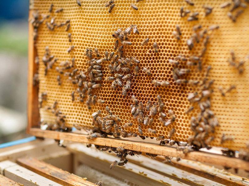 Pčelari ove godine bez meda, u padu i broj preživjelih pčela