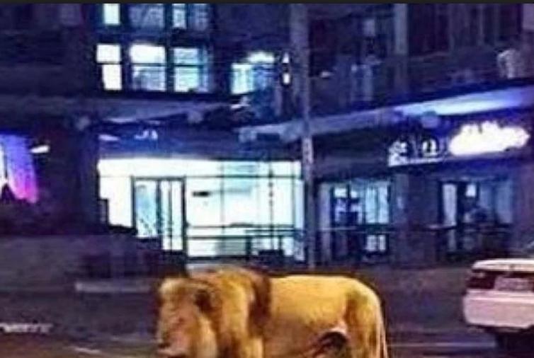 Saudijska Arabija: Muškarac uhapšen nakon što je viđen kako glavnim putem šeta s lavom