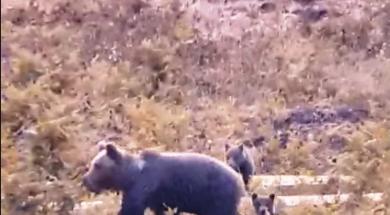 Screenshot_2019-10-14 Medvjedi i vukovi se sve više pojavljuju u blizini kuća na Kupresu