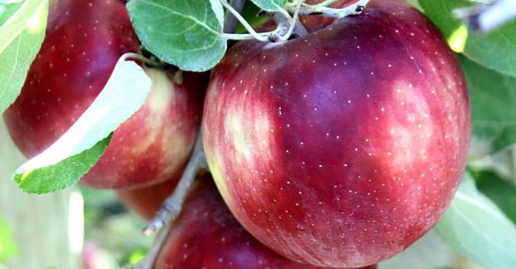 Amerikanci osmislili novu sortu jabuke koja u frižideru može stajati godinu dana