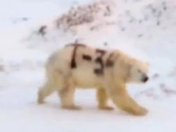 Screenshot_2019-12-03 Polarni medvjed s oznakom T-34 ispisanom sprejem šokirao Ruse