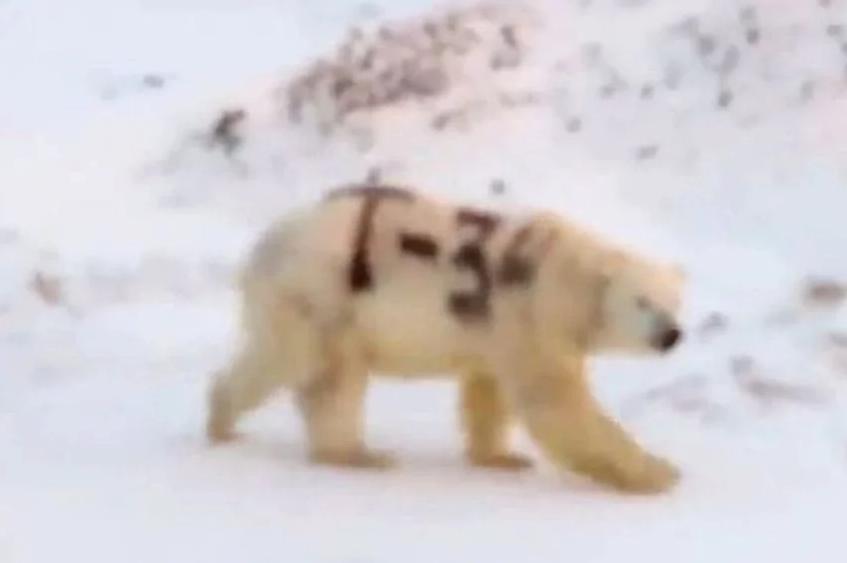 Polarni medvjed s oznakom T-34 ispisanom sprejem šokirao Ruse