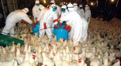 Slučajevi ptičije ili kokošije gripe mogući u BiH i regionu