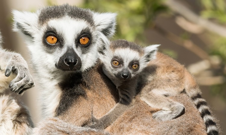 Bečki zoološki vrt Schönbrunn bogatiji za bebu lemura