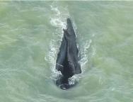 Screenshot_2020-09-21 Zalutali kit pronašao put iz australske rijeke krokodila do mora