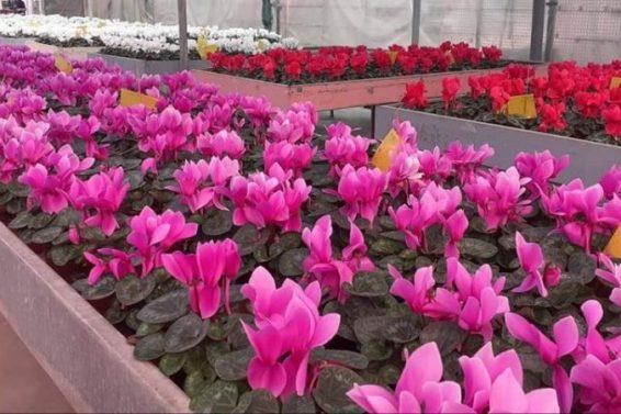 Pripreme za proizvodnju cvijeća koje će ukrasiti Sarajevo