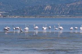 flamingo_Albanija