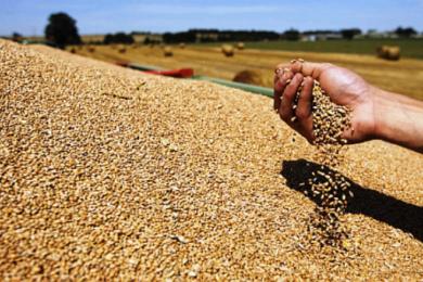 žitarice pšenica