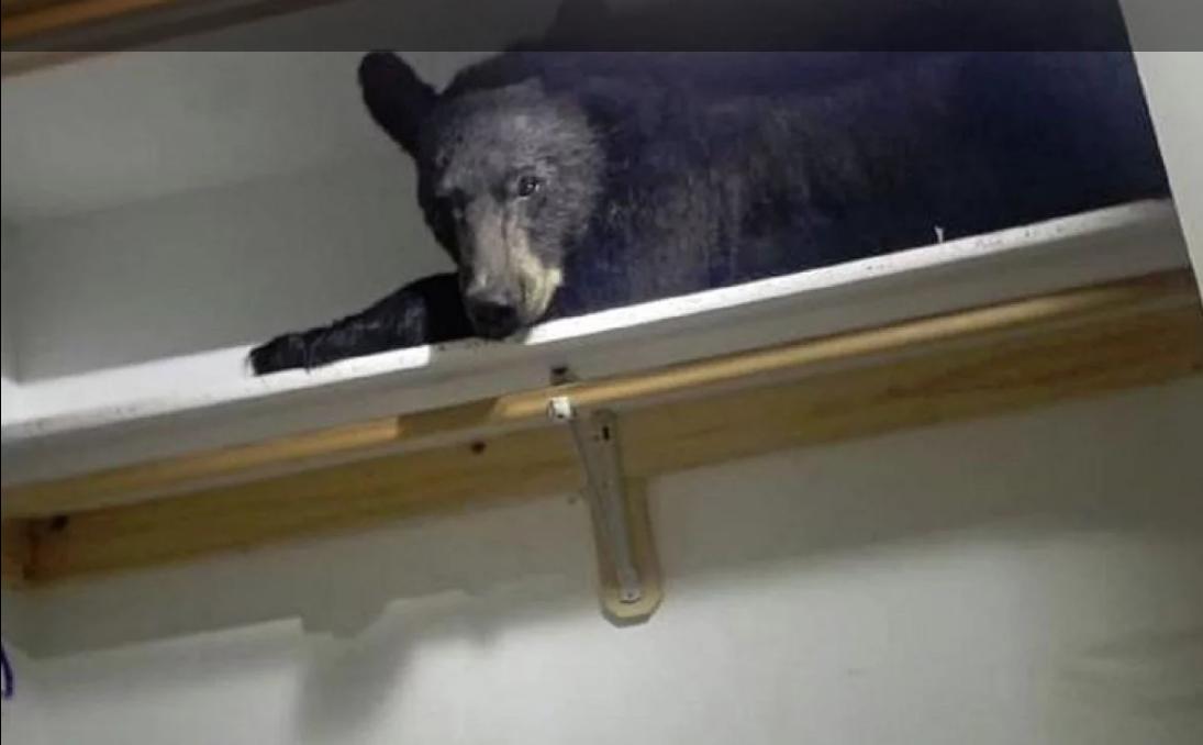 Pozvali policiju zbog provalnika, pa zatekli crnog medvjeda kako spava na ormaru