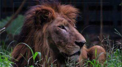 lavovi (1)