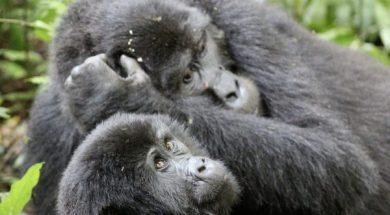 gorila_gorile
