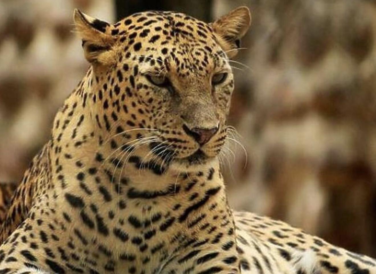 Broj leoparda u Indiji povećan za 60 posto u periodu od četiri godine