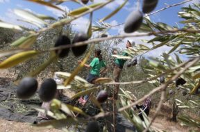 Na hrvatskom tržištu svako drugo maslinovo ulje lažno